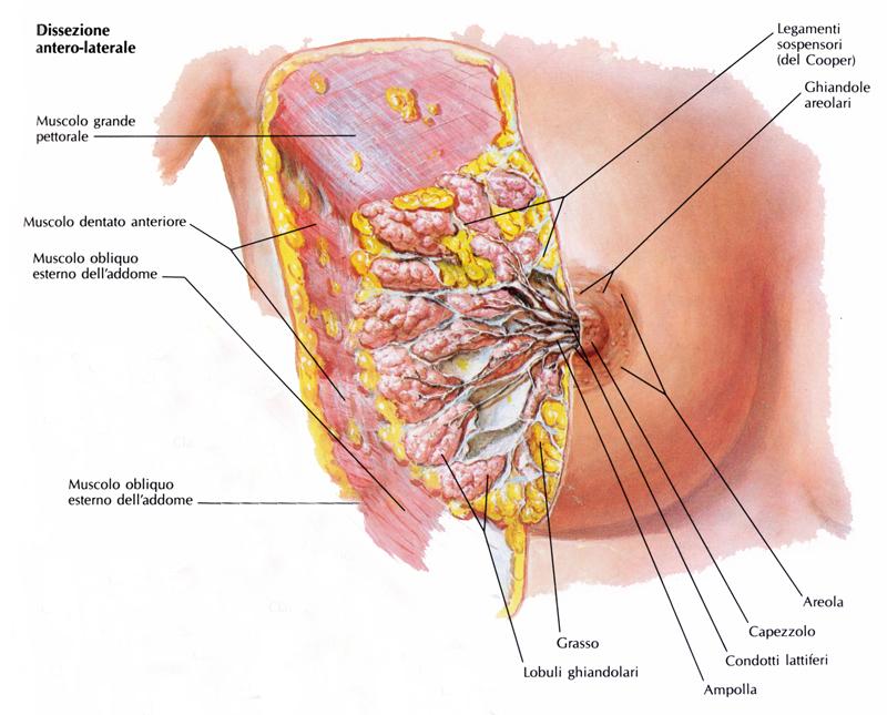 anatomia della mammella